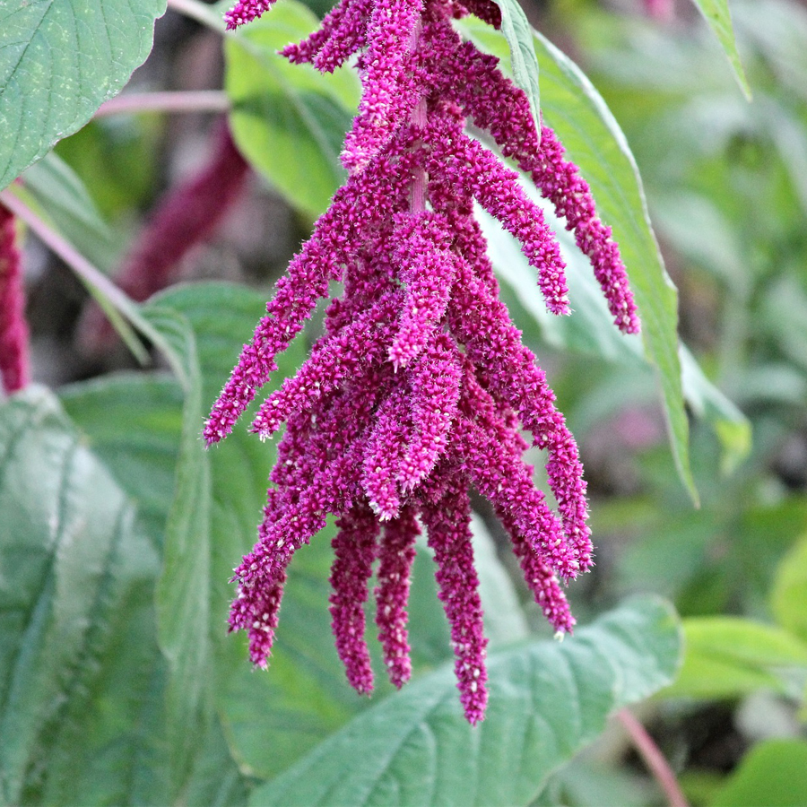 Amaranth's Array of Benefits
