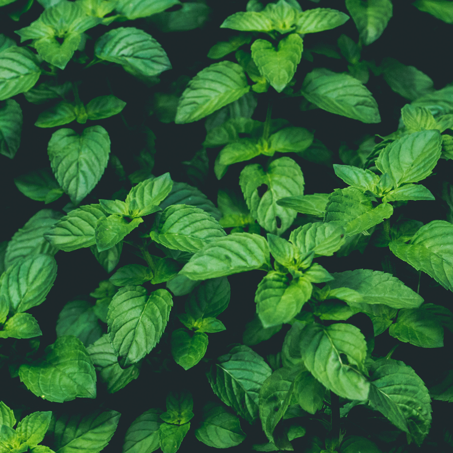 Minty Fresh Facts About Mint
